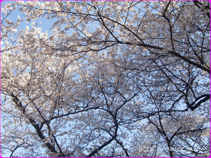 桜100選の三ツ池公園の大きい桜