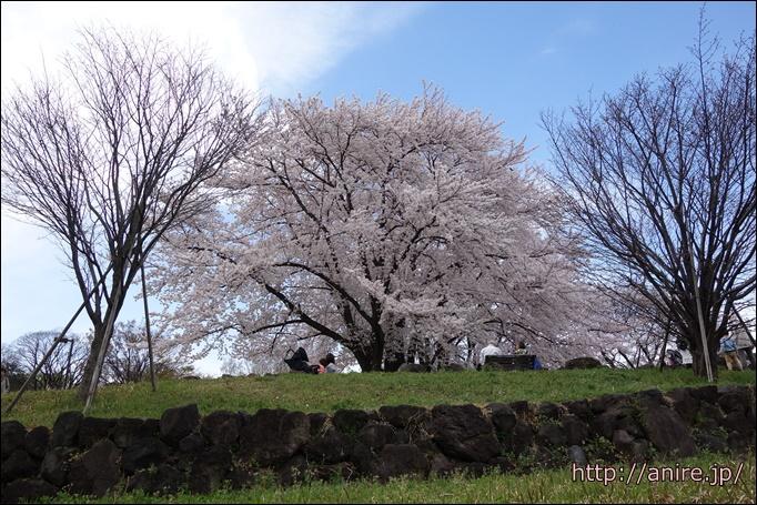 センター北の桜